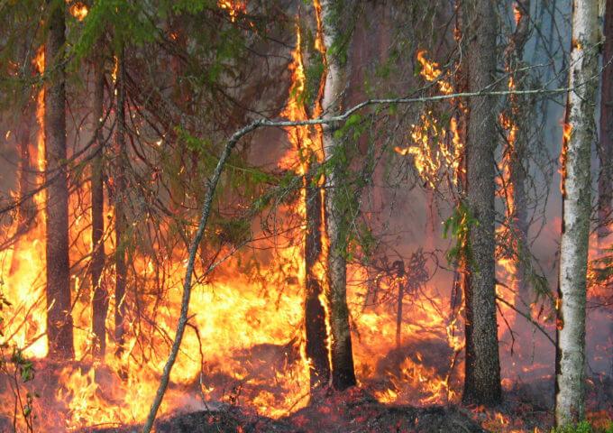 Livet i de boreala skogarna är anpassat till återkommande bränder.